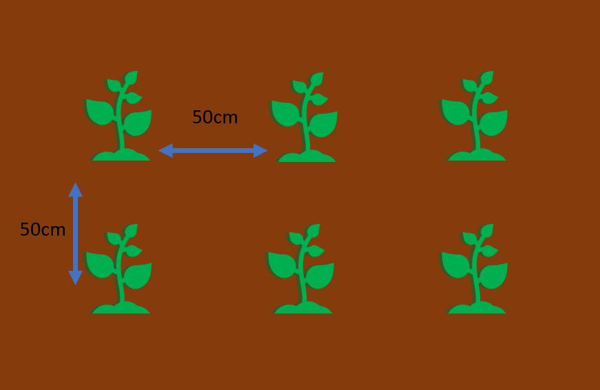 50cm間隔で植える